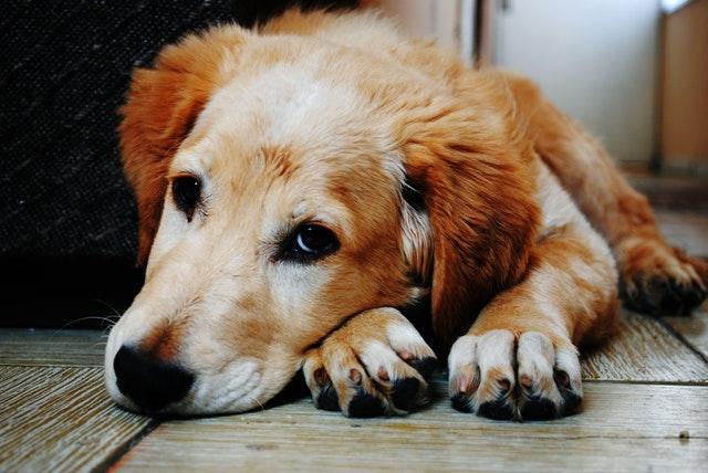 flooring dog